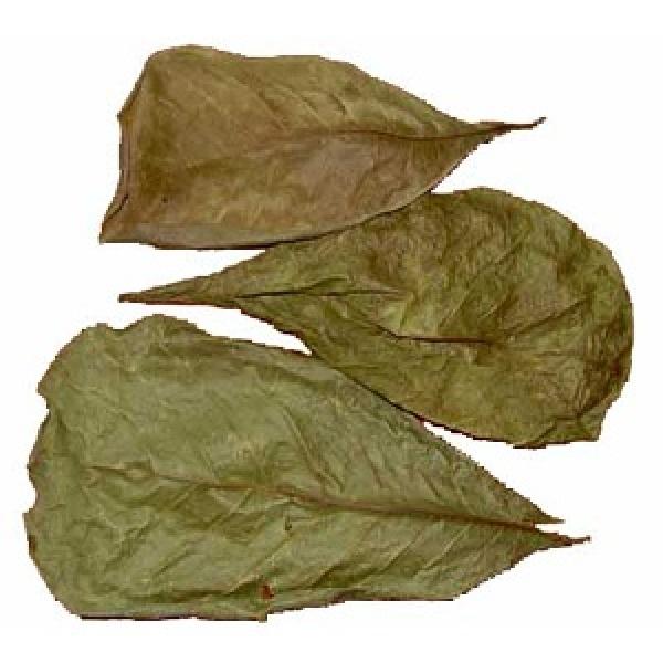 AKVARISTA.cz Listy mandlovníku mořského (Terminalia cattapa) 10g