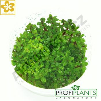 Profiplants Ammania sp. Bonsai (in vitro) kelímek 65 mm