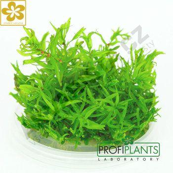 Profiplants Didiplis diandra (in vitro) kelímek 65 mm