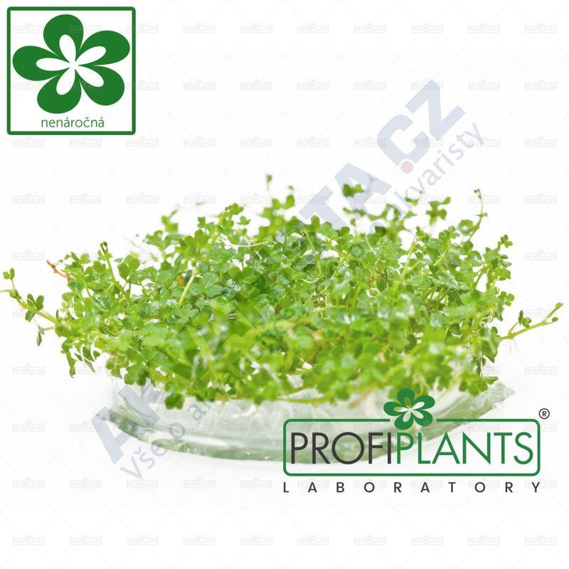 Profiplants Hydrocotyle tripartita MINI (in vitro) kelímek 65 mm