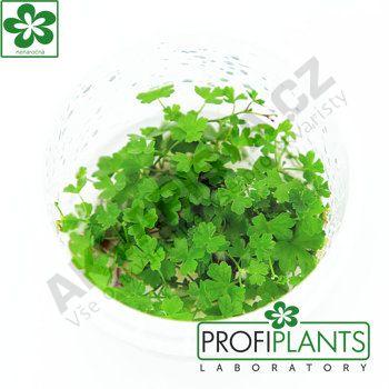 Profiplants Hydrocotyle tripartita (in vitro) kelímek 65 mm