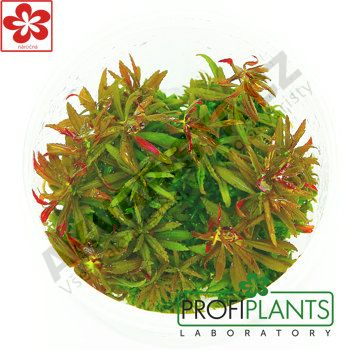 Profiplants Limnophila aromatica (in vitro) kelímek 65 mm