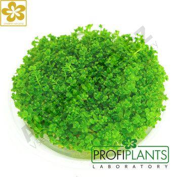Profiplants Micranthemum callitrichoides Cuba (in vitro) kelímek 65 mm