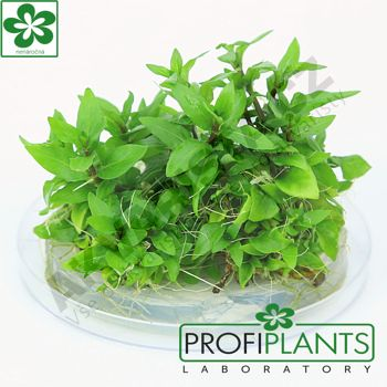 Profiplants Staurogyne repens (in vitro) kelímek 65 mm