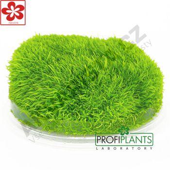 Profiplants Utricularia graminifolia (in vitro) kelímek 65 mm